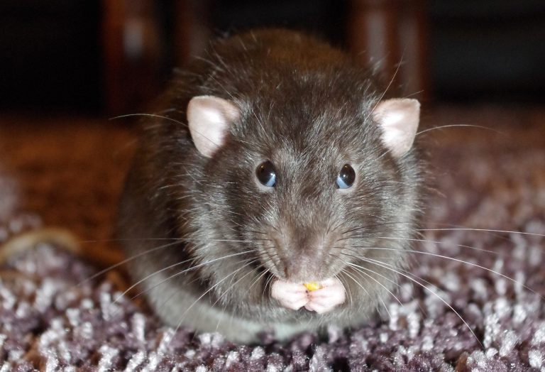 Rodent example for Pest Control services